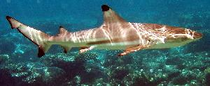 Safe now: A blacktip reef shark, photographed in the waters of the Maldives.